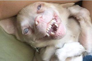 Conheçam Tucker, o cãozinho morcego sucesso no Instagram