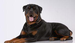 Rottweiler dog on gray