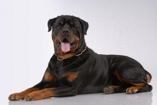 Entenda as diferenças entre um rottweiler americano e um alemão