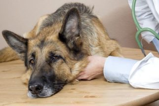 Especialista dá orientações sobre a giárdia em cães