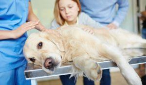 Sick labrador on medical table with his doctor and owners near by