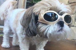 Com problemas de vista, cãozinho precisa usar óculos de sol