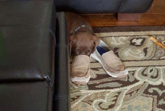 labrador-dormindo-com-focinho-dentro-de-sapato-de-tutor