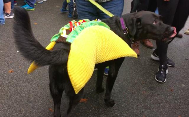 labrador-fantasiado-de-taco-mexicano