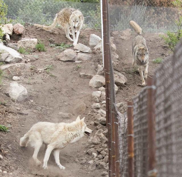 neo-no-santuario-para-lobos-com-sua-alcateia