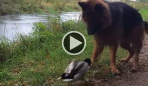 pato-destemido-brinca-com-cachorro-de-igual-para-igual