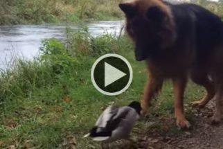 Pato destemido brinca com cachorro de igual para igual
