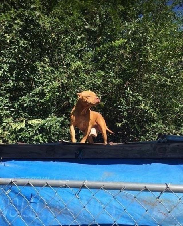 pitbull-ilhado-em-teto-de-casa
