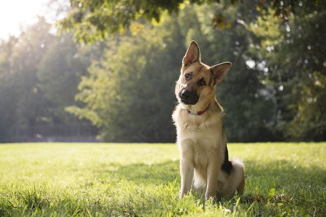 Postura do cão pode indicar o estado de humor dele