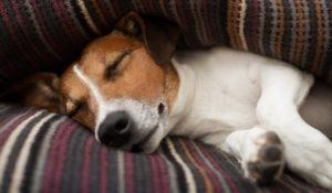 jack russell terrier dog under the blanket or sheets in bed , having a siesta and relaxing or sleeping