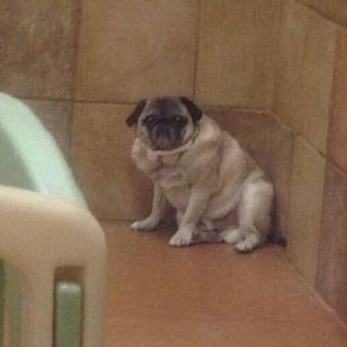 pug-isolado-no-cantinho1