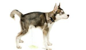 Siberian Husky puppy is peeing on the studio floor. Isolated on white background