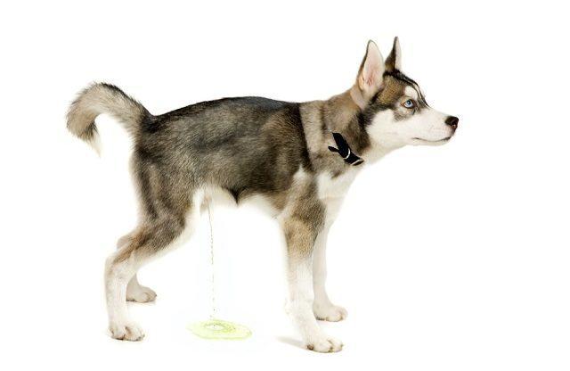 Saiba diferenciar o xixi do seu cão quando for por medo ou excitação