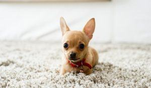 Cute chihuahua dog playing on living room's carpet and looking at camera.