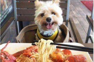 Cão faz sucesso ao aparecer sempre bem comportado diante de comidas