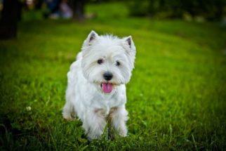 Como devo cuidar de um cão west highland white terrier