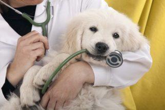 Como tratar a Síndrome Vestibular Canina e qual a sua causa