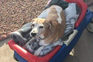 Em seu último dia de vida, beagle ganha mimos de sua família