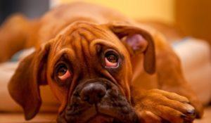 German Boxer - lonely puppy dog laying on the floor with sadness in eyes