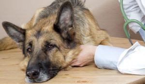 vet examining a sick German Shepherd