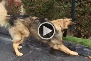 Para rir: pastor alemão tenta impedir que água escorra pelo asfalto