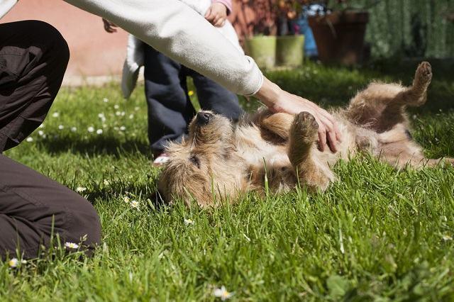 Razão pela qual os cachorros gostam tanto de carinho na barriga