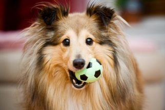 Sabia que existe a quantidade certa de brincadeiras para cães?
