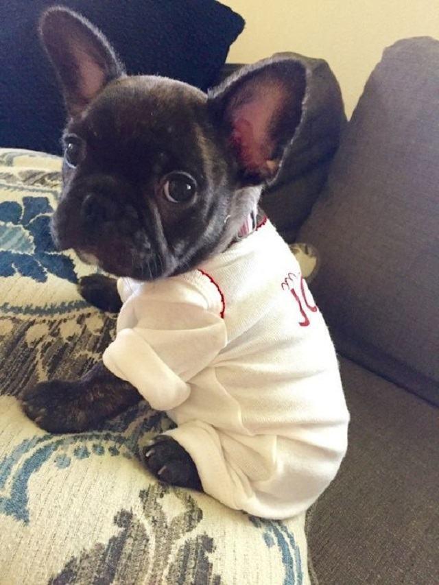 bulldogue-frances-filhote-com-pijamas
