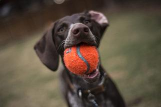 Exercício do comando de busca básico para cachorros