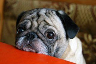 Objeto entrou no olho do meu cão: o que faço?