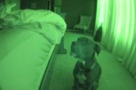 Para rir: pit bull age como alarme e tem até mesmo função soneca