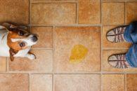 Como treinar o meu cão para o 'banheiro' através de palavras