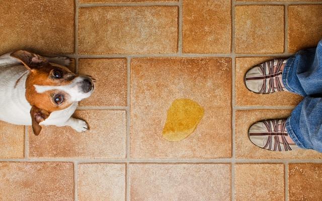 Ensinar o cachorro a ir ao banheiro no lugar certo deve ser uma das primeiras tarefas