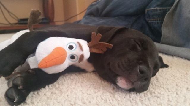 cadela-filhote-dormindo-ao-lado-de-sua-pelucia-do-personagem-olaf-do-filme-frozen