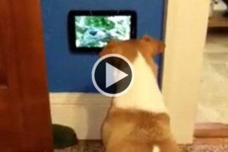 Cadela gosta tanto de TV, que sua tutora lhe presenteou com uma