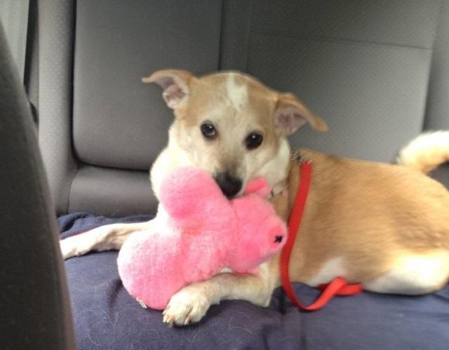 cadela-levando-seu-brinquedo-favorito-para-passeio-de-carro