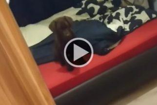 Cãozinho tenta fazer amizade com seu reflexo no espelho