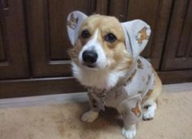 corgi-com-pijamas-que-cobrem-suas-orelhas