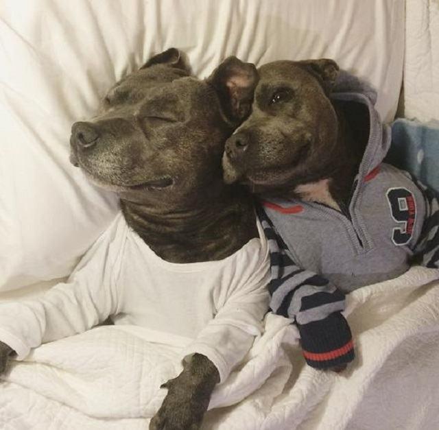 dupla-de-pitbulls-usando-pijamas