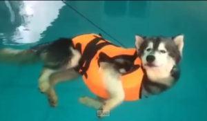 esse-husky-aproveita-os-dias-quentes-para-se-refrescar-em-piscina