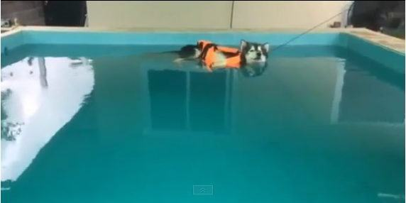 esse-husky-aproveita-os-dias-quentes-para-se-refrescar-em-piscina1