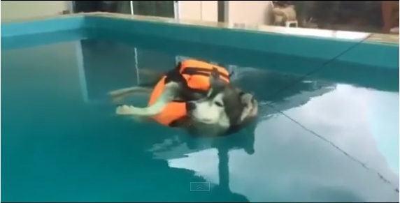 esse-husky-aproveita-os-dias-quentes-para-se-refrescar-em-piscina2
