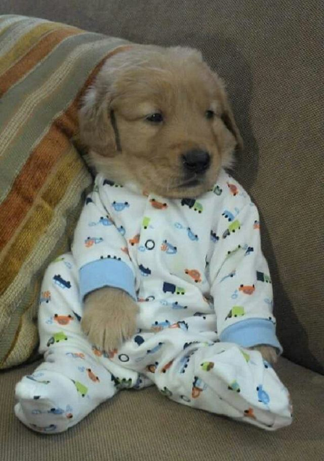 filhote-de-golden-retriever-com-pijama
