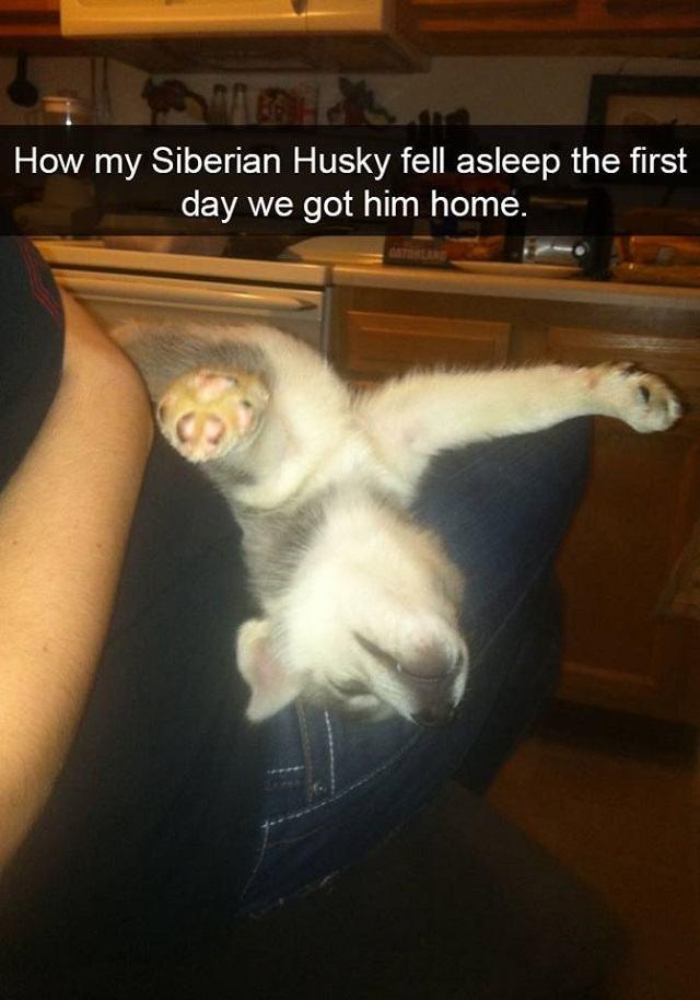 filhote-de-husky-dormindo-demaneira-engracada