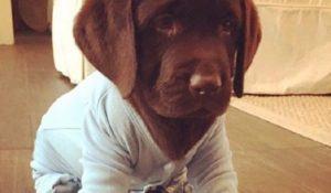 filhote-de-labrador-com-pijamas