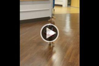 Fofura: cadela usa vestido e anda sobre duas patas