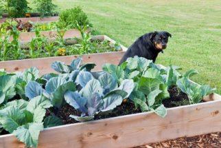 Forma correta e eficaz de proteger dos cães a sua horta caseira