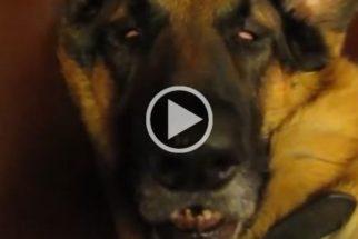 Hilário: pastor alemão acorda de sono profundo completamente confuso