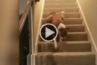 Hilário: diferentes maneiras de cães lidarem com escadas