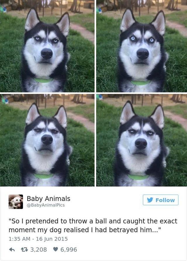 husky-com-cara-de-decepcao